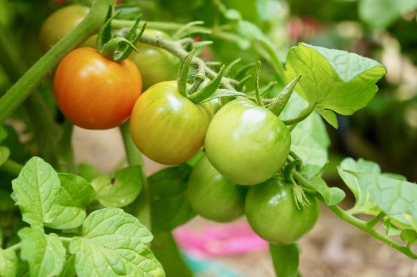 An Italian journey through food - Tomato plants